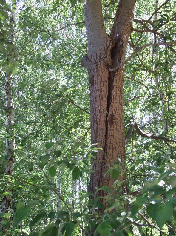 drzewo-do-wyciecia