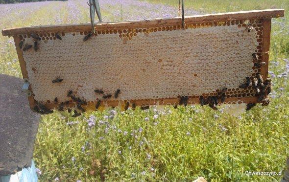 pszczoly-pasieka-miod