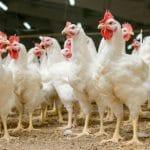 Wojewoda Pomorski uchyla obostrzenia w sprawie ptasiej grypy